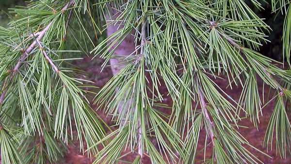 http://www.apinguela.com/Plantas/C/Cedrus-deodara/Cedrus%20deodara1.jpg