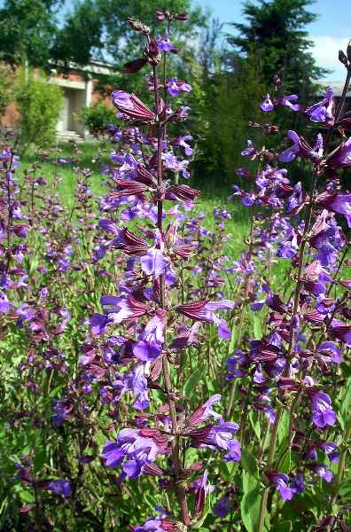http://www.apinguela.com/Plantas/S/Salvia-officinalis/Salvia%20sp.1.jpg